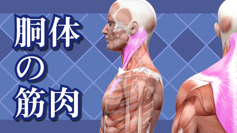 第2回 胴体の筋肉