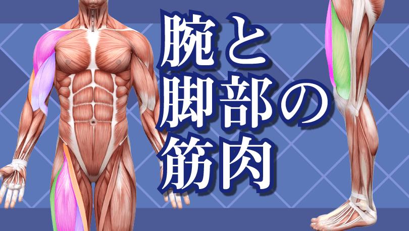 第3回 腕と脚部の筋肉